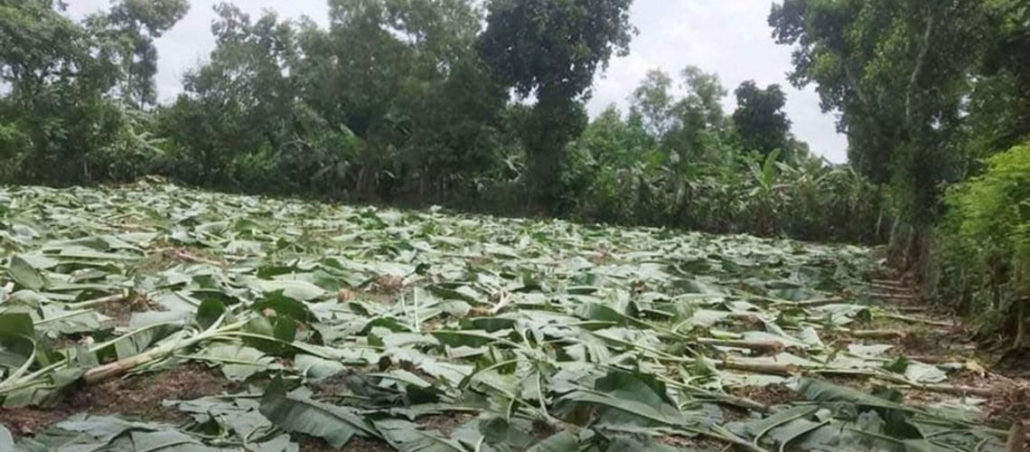 """The forest department cut down banana plants raised on a """"grabbed"""" forestland under the Dokhala range in Madhupur upazila, Tangail, on September 14, 2020. Photo: Star"""